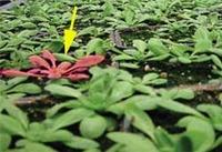 Plant_land_mine